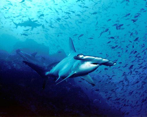 756px-Hammerhead_shark,_Cocos_Island,_Costa_Rica